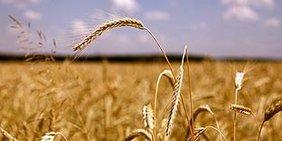 Ein Getreidefeld, im Vordergrund eine Weizenähre